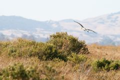 great-blue-heron-napa-001.jpg